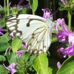 2nd Jerry Steeneveldt - Brown-veined white butterfly